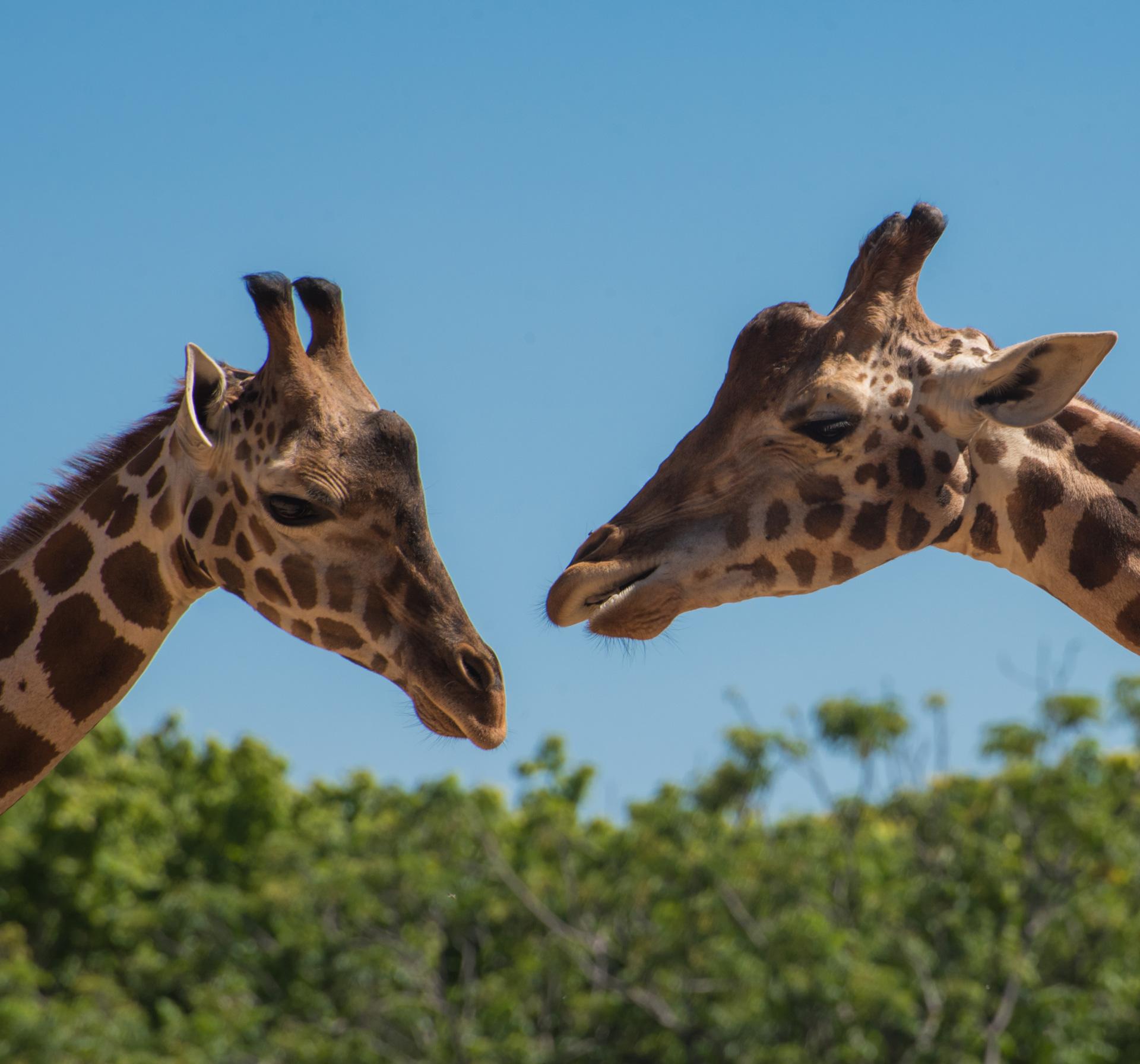 Soutien Initiatives Locales imagée avec deux girafes